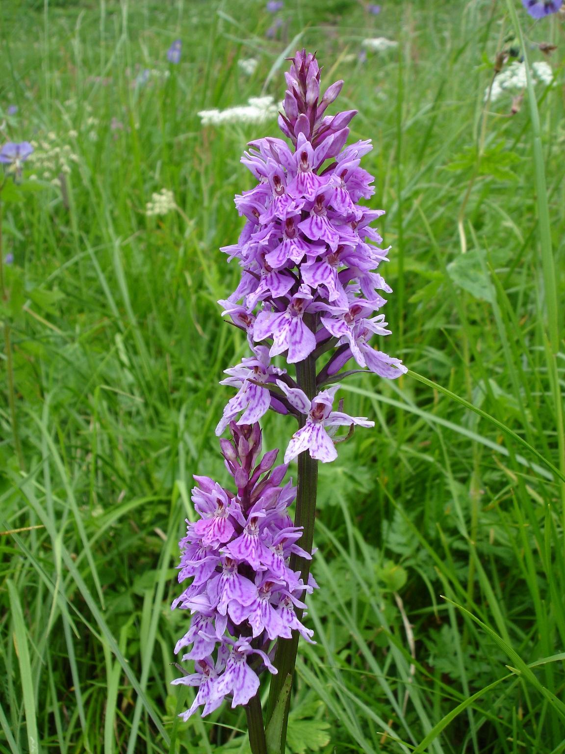 Orchidee di montagna
